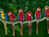 Blue-And-Yellow  Ara Ararauna  and Scarlet  Ara Macao  Macaws  Peru