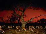 Impalas at Twilight  Aepyceros Melampus  Chobe National Park  Botswana
