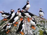 Atlantic Puffin Flock  Fratercula Arctica  Outer Hebrides  Scotland
