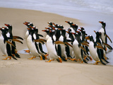 Gentoo Penguins Coming Ashore  Pygoscelis Papua  Falkland Islands