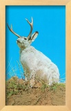 Jackalope  Horned Rabbit