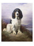 Royal  a Tri-Colour Working Springer Spaniel