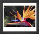 Bird of Paradise  Maui  Hawaii  USA