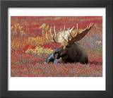 Bull Moose in Denali National Park  Alaska  USA