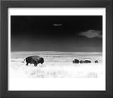 Buffalo Grazing  Buffalo Gap Nat Grassland  SD