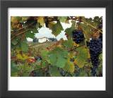 Farmhouse View Through Grapevine  Tuscany  Italy