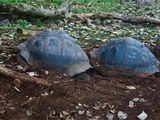 Riesenschildkroetenbulle Bei Der Paarung auf Galapagos