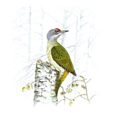 Grey-Faced Woodpecker