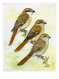 Isabelline Shrike