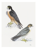 Falcons III