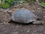 Riesenschildkroetenbulle auf Galapagos