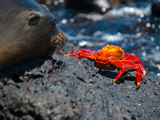 Seeloewe Und Klippenkrabbe auf Galapagos