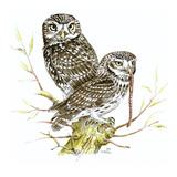 Little Owl I