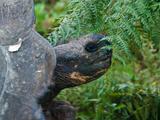 Riesenschildkroetenbulle Bei Der Paarung auf Galapagos