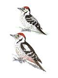 Woodpeckers II