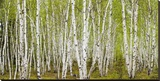 White Birch Grove with Spring Foliage  Canada (detail)