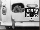 Dog peering from hole in rear of car  1957