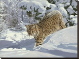 Snow Country Cat
