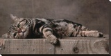 American Shorthair Brown Patched Tabby Cat