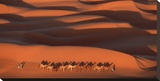 Camels Crossing Amber Dunes  Mauritania