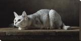 Silver Burmilla Cat