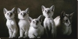 Balinese Cat and Kittens