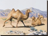 Wild Bactrian Camel