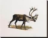 Caribou