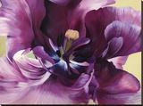 Purple tulip close-up
