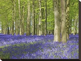 Bluebell wood in dappled sunshine
