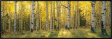 Aspen Trees in Coconino National Forest  Arizona  USA