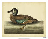 Catesby White-face Teal  Pl T100
