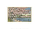 Cherry Blossoms  Potomac Park