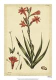 Watsonia  Pl CCLXXVI
