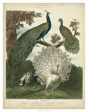 Peacock Gathering