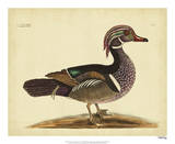 Catesby Summer Duck  Pl T97