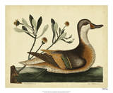 Catesby Ilatheria Duck  Pl T93