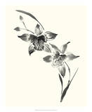 Studies in Ink - Cymbidium