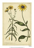Rudbeckia and Coreopsis  Pl CCXXIV