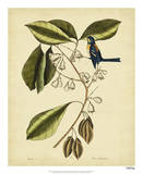 Catesby The Finch Creeper  Pl T64