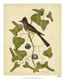 Catesby Crest Fly-Catcher  Pl T52