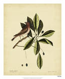 Catesby The Purple Finch  Pl T41