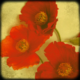 Fresh Poppies II