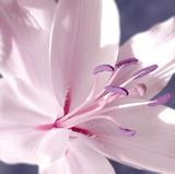 Lilac Flower II