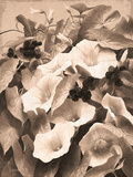 Convolvulus and Blackberries (Sepia)