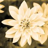 Dahlia Cream II