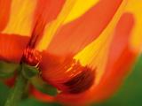 Radiant Yellow Poppy