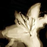 Lily Glow I