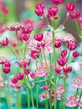 Astrantia Meadow