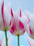 Tulip Dream I